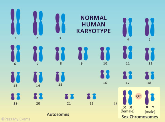 What Are Chromosomes Easy Exam Revision Notes For Gsce